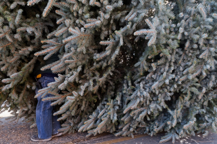 The blue spruce tree is placed onto Main Street Square on Wednesday morning.