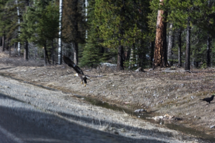A bald eagle takes flight on the side of the road. Highway 83, Montana.